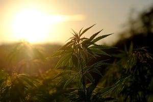Cannabis and productivity